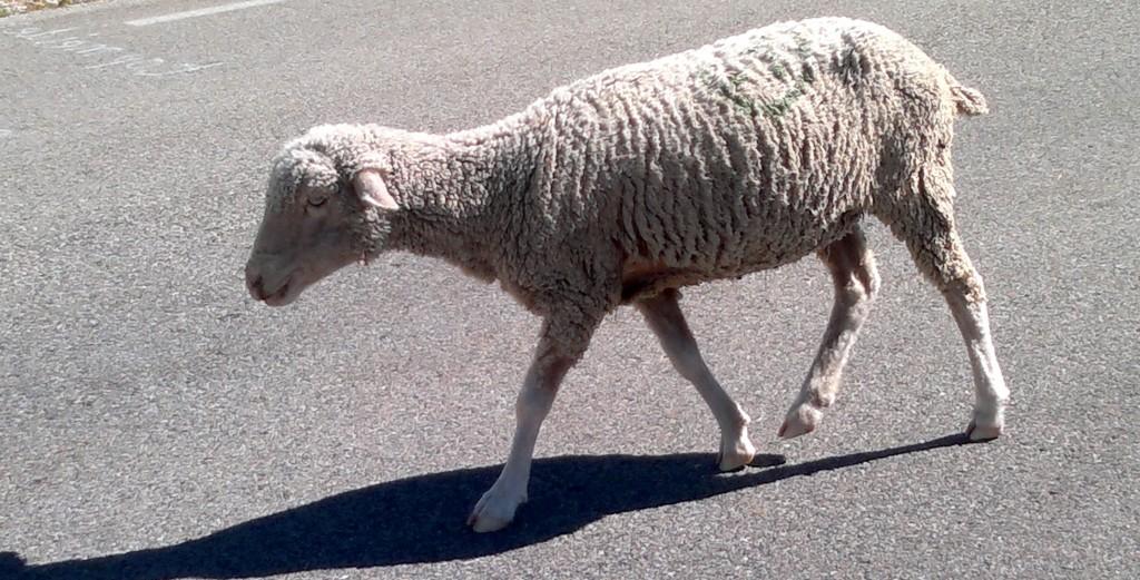 En succombant aux promesses séduisantes des publicités, les épargnants peuvent aussi se faire tondre comme des moutons par les frais cachés des placements (photo © GPouzin)